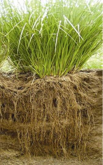 Fragrant Friday: Vetiver (Chrysopogon zizanioides)