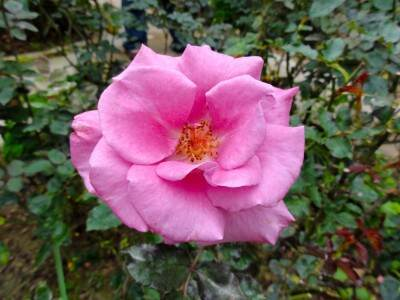 What is the Difference Between Rose Otto and Rose Absolute?