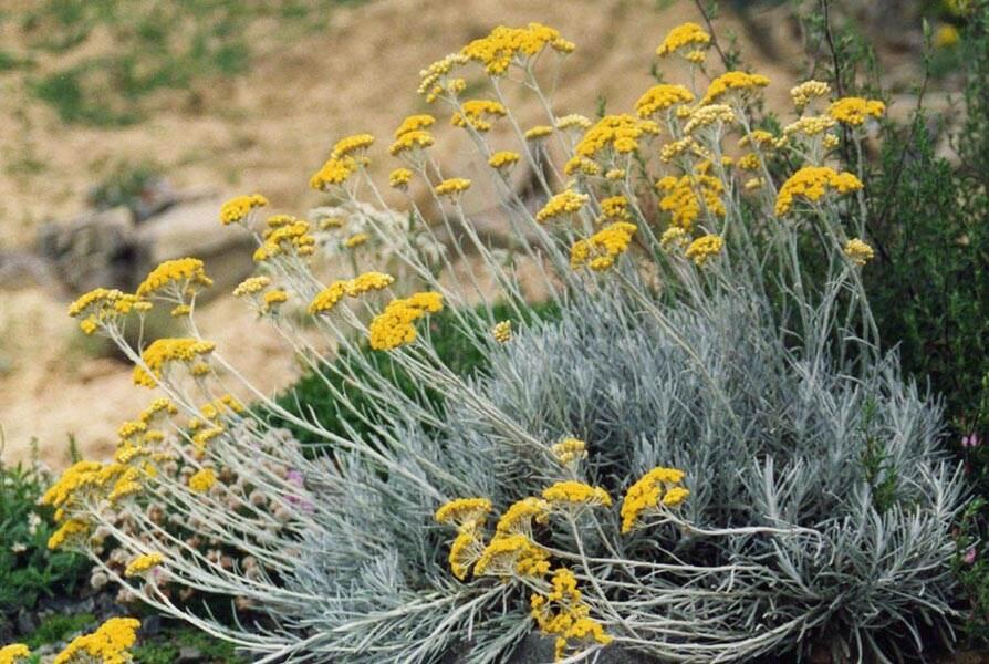 Helichrysumbush