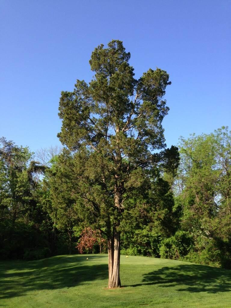 JuniperusVirginianaTree