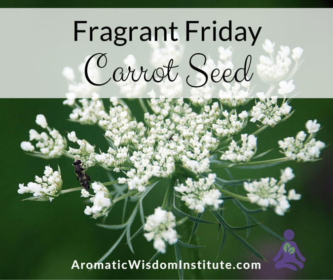 Fragrant Friday: Carrot Seed (Daucus carota)