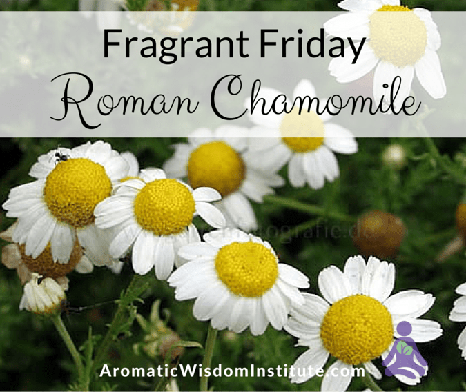 Fragrant Friday: Roman Chamomile (Chamaemelum nobile)