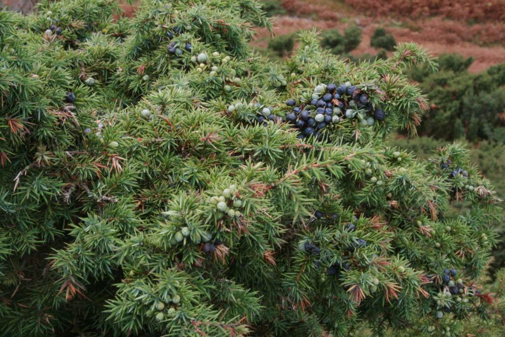 Juniperus_communis_Haweswater