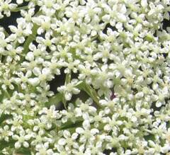 queen-annes-lace-tiny-flowers