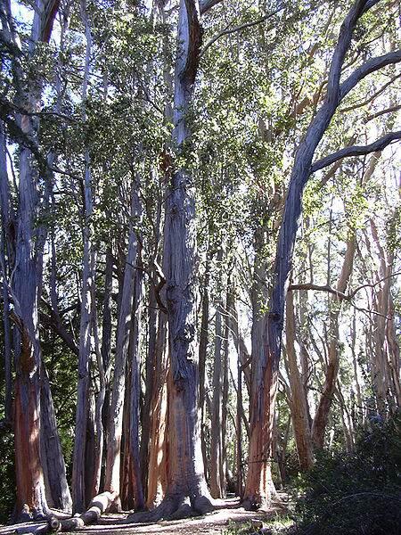 Eucalyptusglobulus