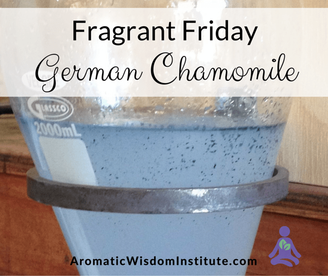 Fragrant Friday: German Chamomile (Matricaria chamomilla)