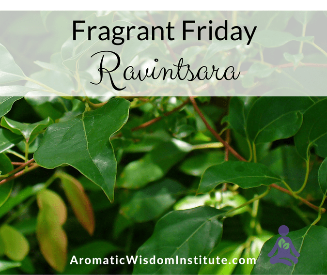 Fragrant Friday: Ravintsara (Cinnamomum camphora ct 1,8 cineole)