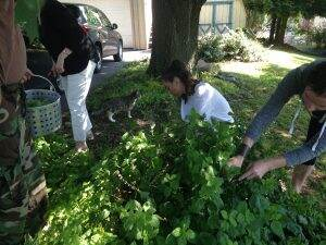Hydrosol students picking Melissa leaves